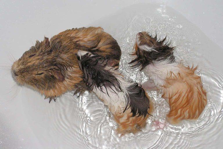 Guinea Pigs on a Tub