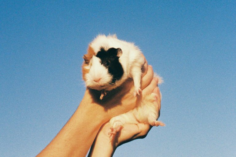 Lifting Guinea Pig with Hands