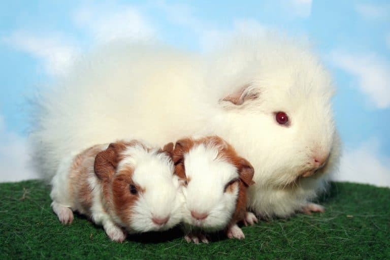 Mother Teddy Guinea Pig with Babies.jpg