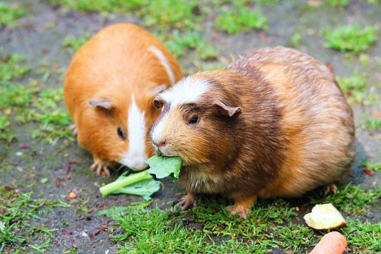 Pair of Guinea Pigs Eating Veggies