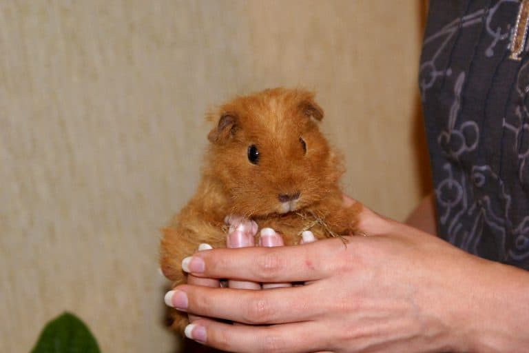 Person Holding a Guinea Pig