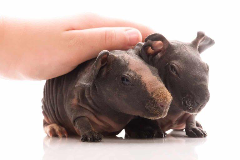Petting Skinny Guinea Pigs