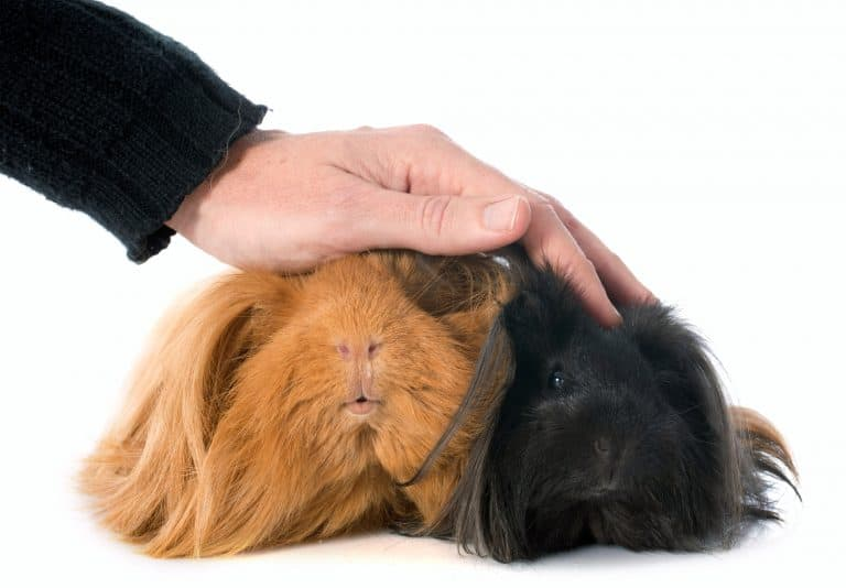 Petting Two Guinea Pigs