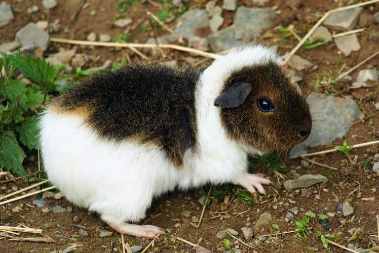 Guinea Pig Playing at a Backyard