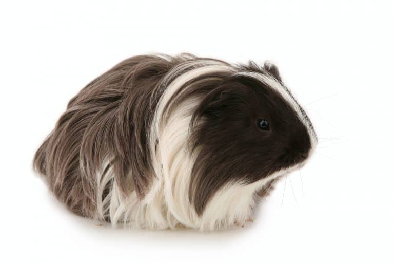 Silkie Guinea Pig on White Background