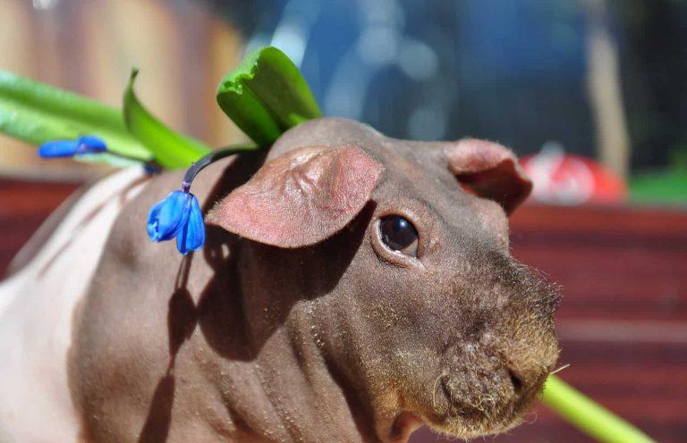 Skinny Guinea Pig Close Up