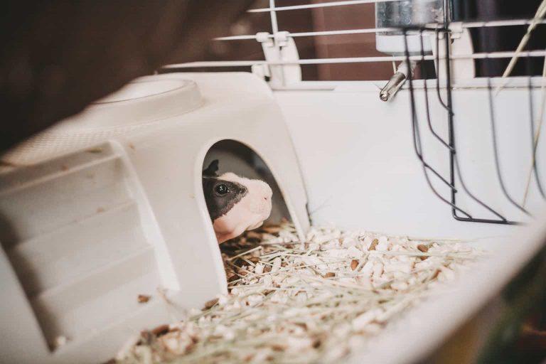 Skinny Guinea Pig Hiding Inside Its Cage