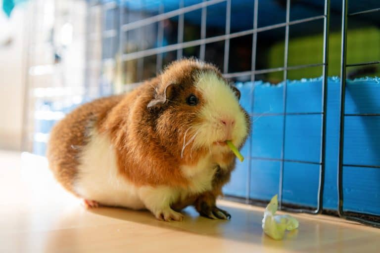 Teddy Guinea Pig Eating Outside a Cage