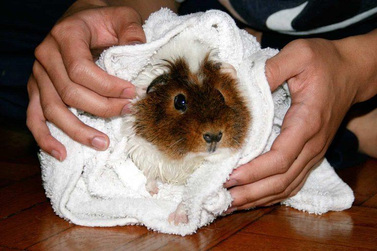 Teddy Guinea Pig after bath Photo by acrossthesea
