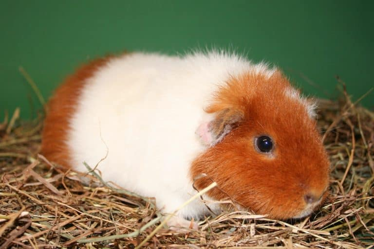 Teddy Guinea Pig on Top of Hay Bedding