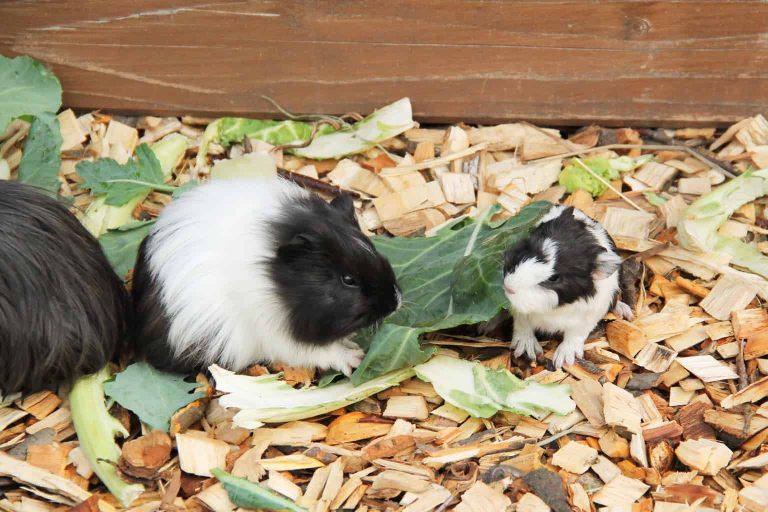 Two Cavies Eating Veggies