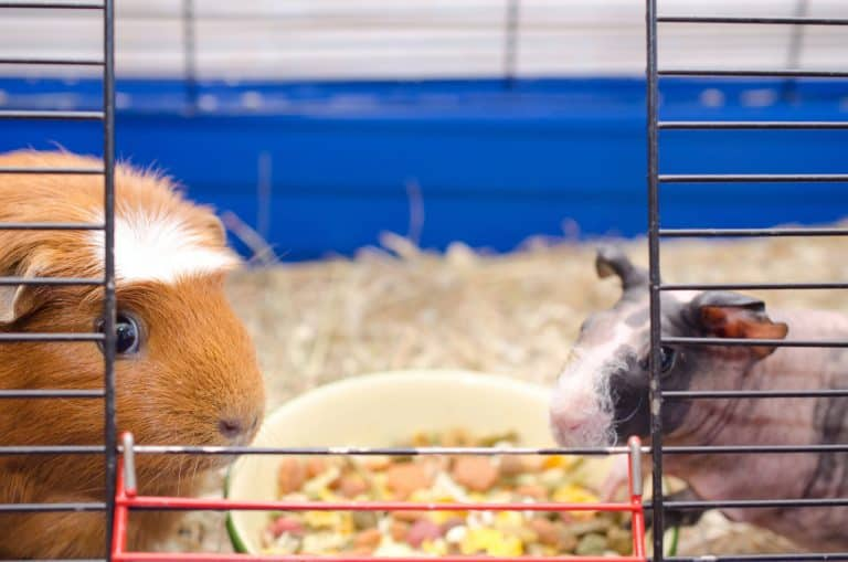 Two Guinea Pigs Inside a Cage