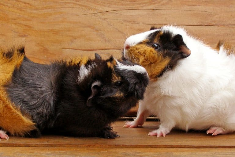 Two Guinea Pigs Playing