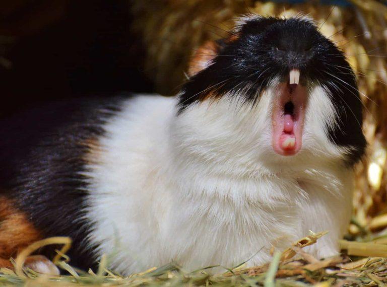 Yawning Guinea Pig