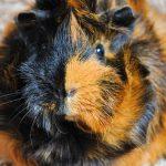 abysinnian guinea pig - chapter 1