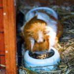 abysinnian guinea pig - chapter 4
