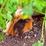 peruvian guinea pig - chapter II