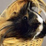 peruvian guinea pig - chapter III