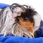 peruvian guinea pig - chapter V
