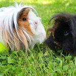 peruvian guinea pig - chapter VII