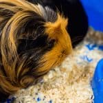 silkie guinea pig - chapter VI