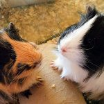 silkie guinea pig - chapter VII