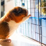 teddy guinea pig - chapter IV